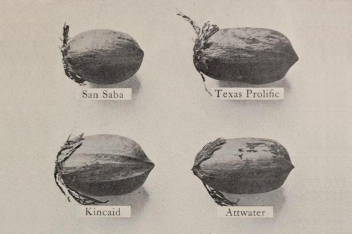 MY EXPERIENCE WITH PECAN VARIETIES 1924