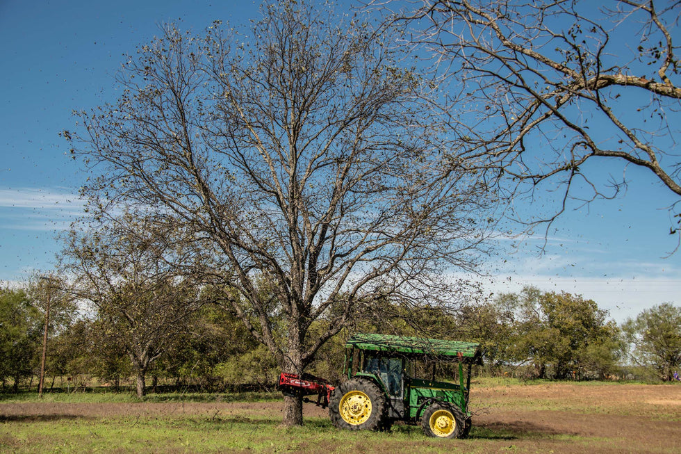 When are the Pecans Harvested