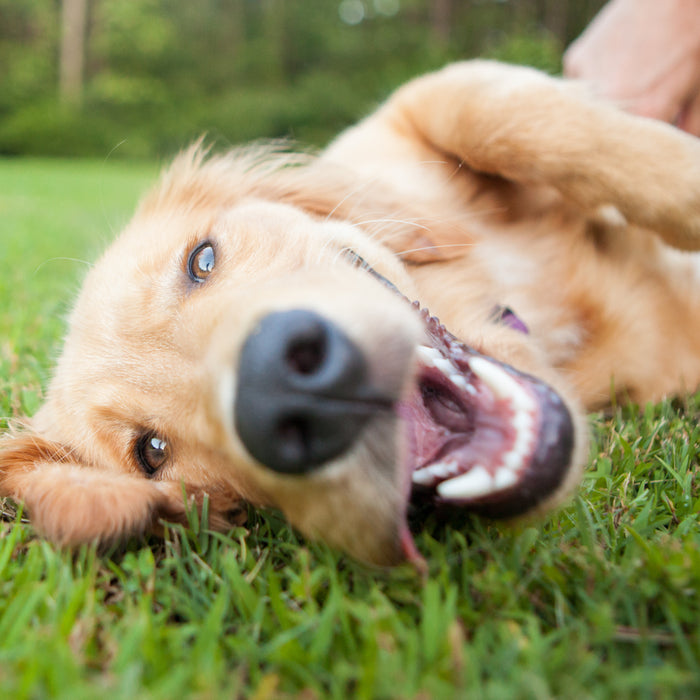 Benefits of Brown Rice for Dogs in Food