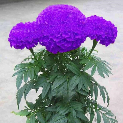 Hot Sale Rare Purple Maidenhair Flower Potted - Discountgereation