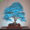 Bonsai Maple Tree – Rare Blue Bonsai Seeds