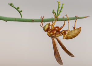 Golden Paper Wasp Crucifixion Thorn tree
