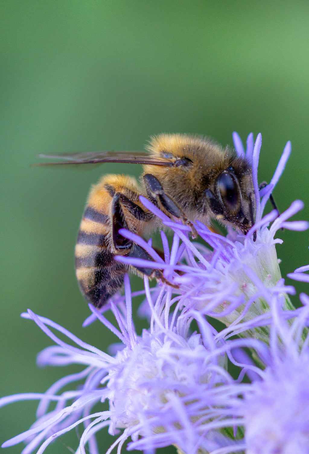 Honey Bee, Blue Mistflower v-26
