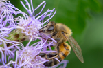 honey bee blue mistflower, pollinator