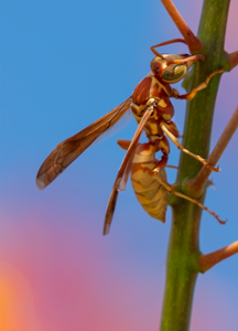 Golden Paper Wasp, Red Bird of Paradise SP-W-