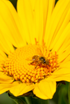 honey bee mexican sunflower