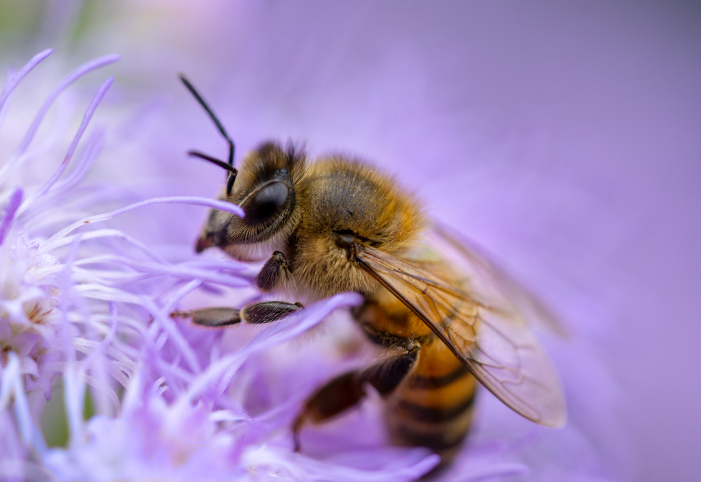 Honey Bee, Blue Mistflower h-27