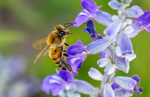 honey bee mealy cup salvia flower