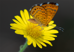 Fatal Metalmark Butterfly, Sow Thistle SP-B-02