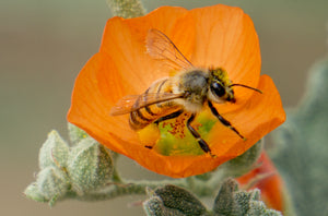 Honey Bee, Globe Mallow h-19