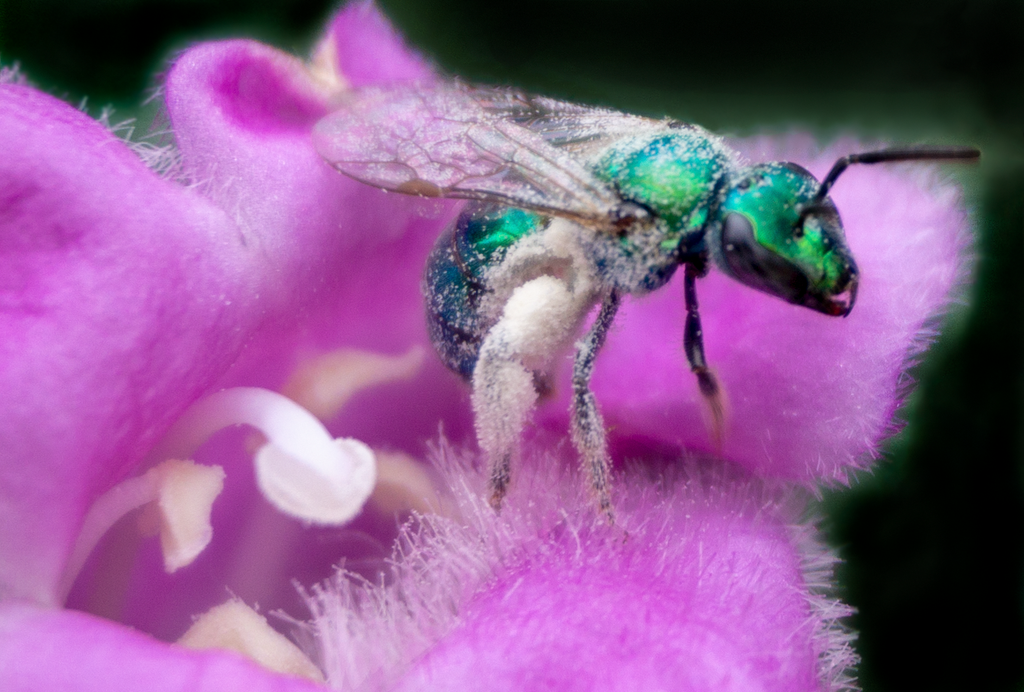 green sweat bee texas sage flower