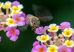 honey bee lantana