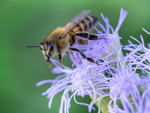 honey bee, blue mistflower, pollinator