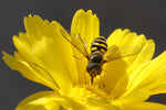 Flower Fly, Brittlebush h-20