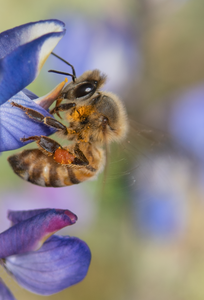honey bee lupine flower