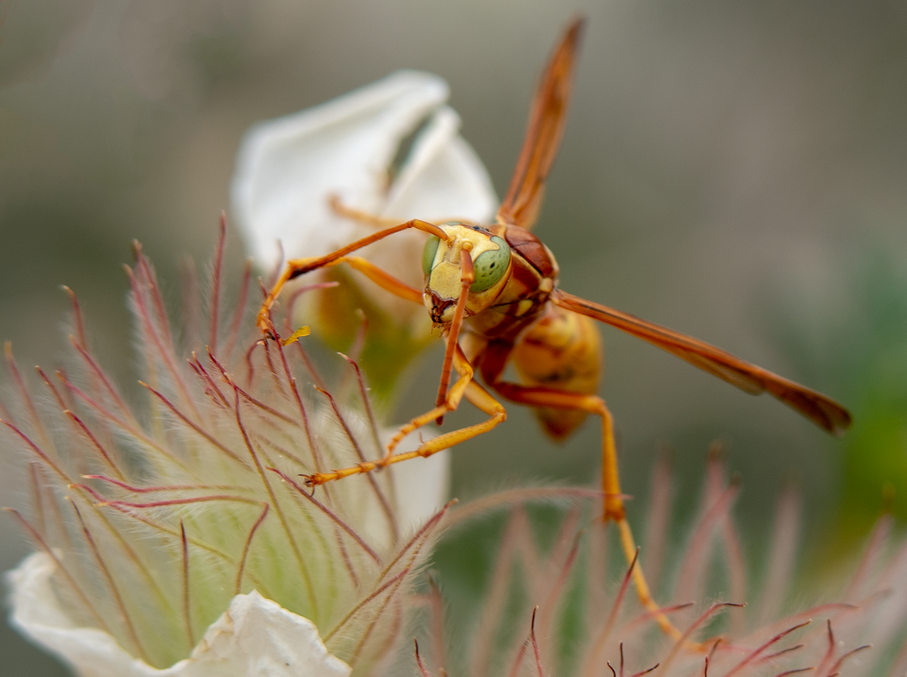 golden paper wasp fallugia flower