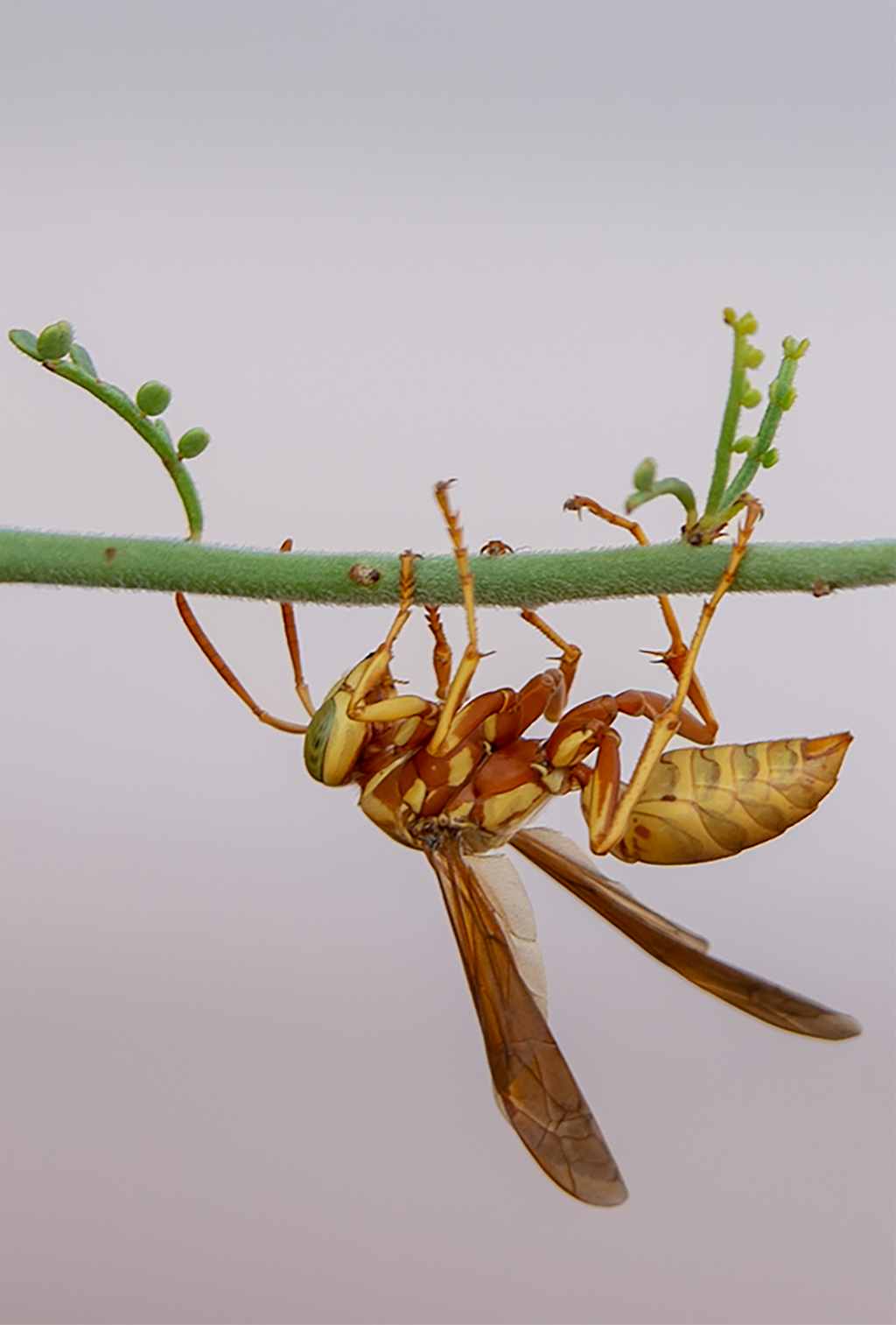 golden paper wasp female polistes aurifer palo verde tree