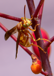 golden paper wasp red bird of paradise
