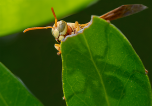 golden paper wasp orange tree