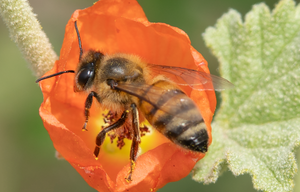 honey bee globe mallow flower