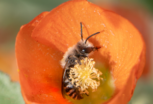 polyester bee cellophane bee globe mallow flower