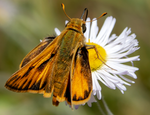 skipper butterfly alkali marsh aster