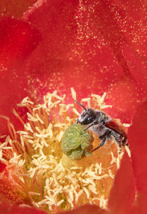 cactus woodborer bee prickly pear cactus flower