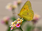 cloudless sulphur butterfly lantana flower
