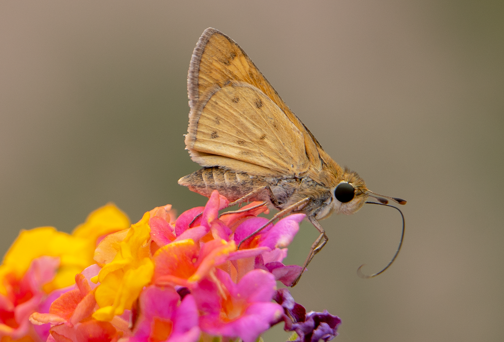 Skipper, Lantana SP-B-03