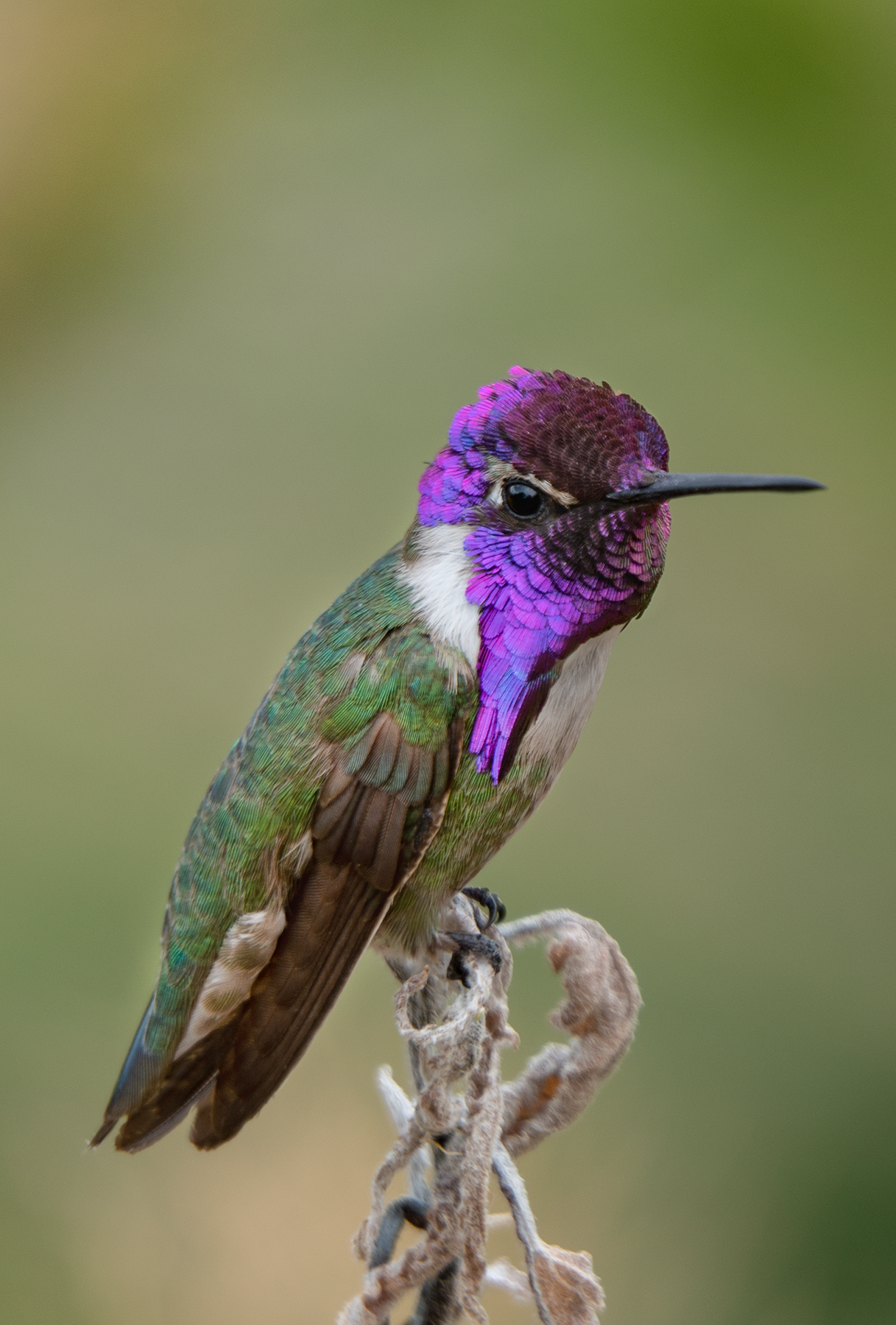 male Costas hummingbird