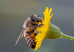 Honey Bee, Sow Thistle h-46