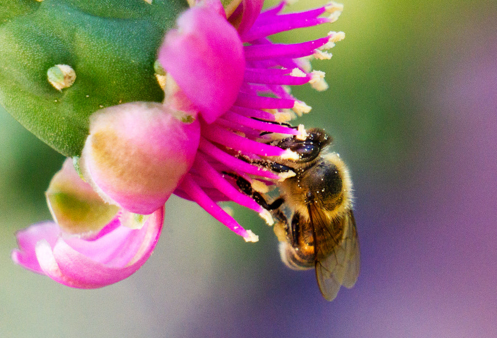 Honey Bee, Cholla h-15