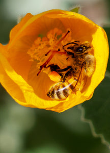 Honey Bee, Globe Mallow v-09