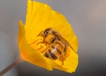 honey bee mexican gold poppy flower