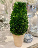 Preserved Boxwood Cone Tree Large