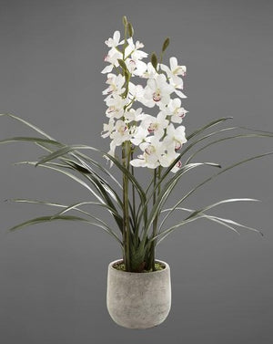 Orchid Cymbidium In Pot 82Cm