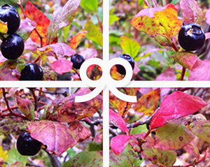 Huckleberry Lover's Gift Card from Larchwood Farms - Pictured are fall huckleberries with multicolored leaves.