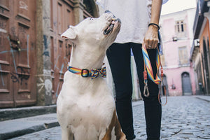 10% OFF ⏰ ZEE.DOG<br>Bowie Dog Collar