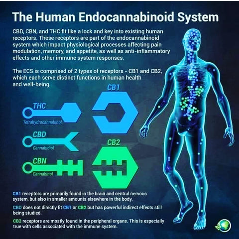 informational picture about the Human Endocannabinoid System