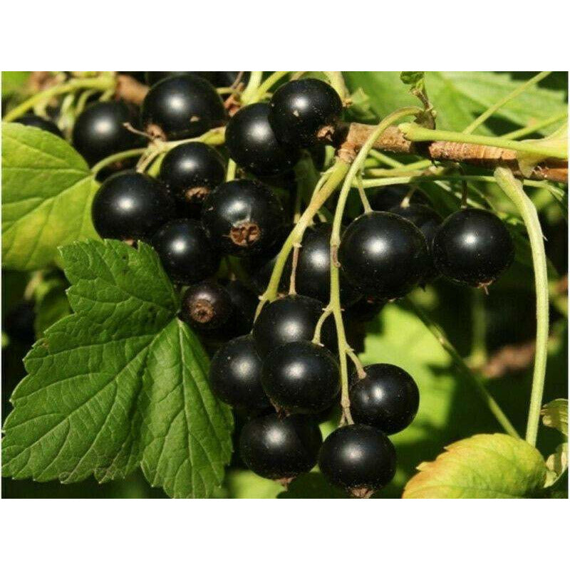 Black Currant Seed Oil Cassis European Black Currant Groseille Noir