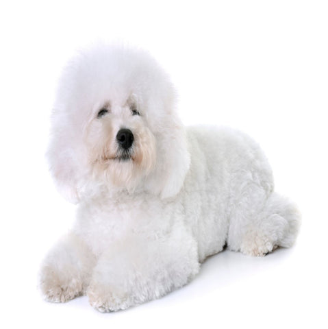 Bichon Frise best dog food grain free natural