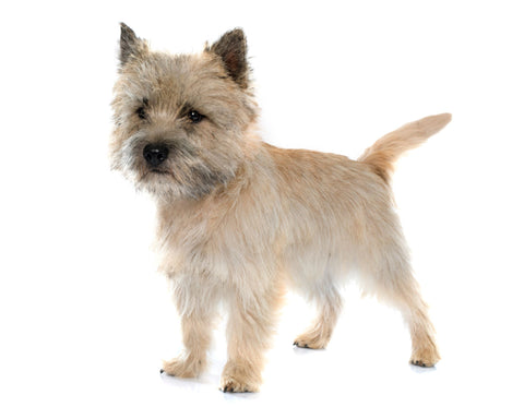 Cairns Terrier