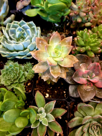 rosette succulents care