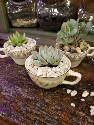 rosette succulents in coffee mugs