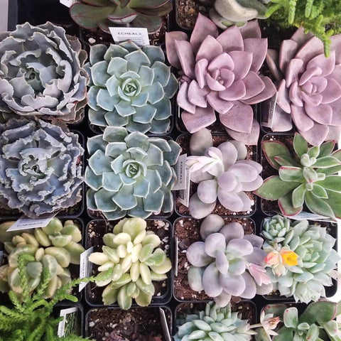 rosette colorful succulents