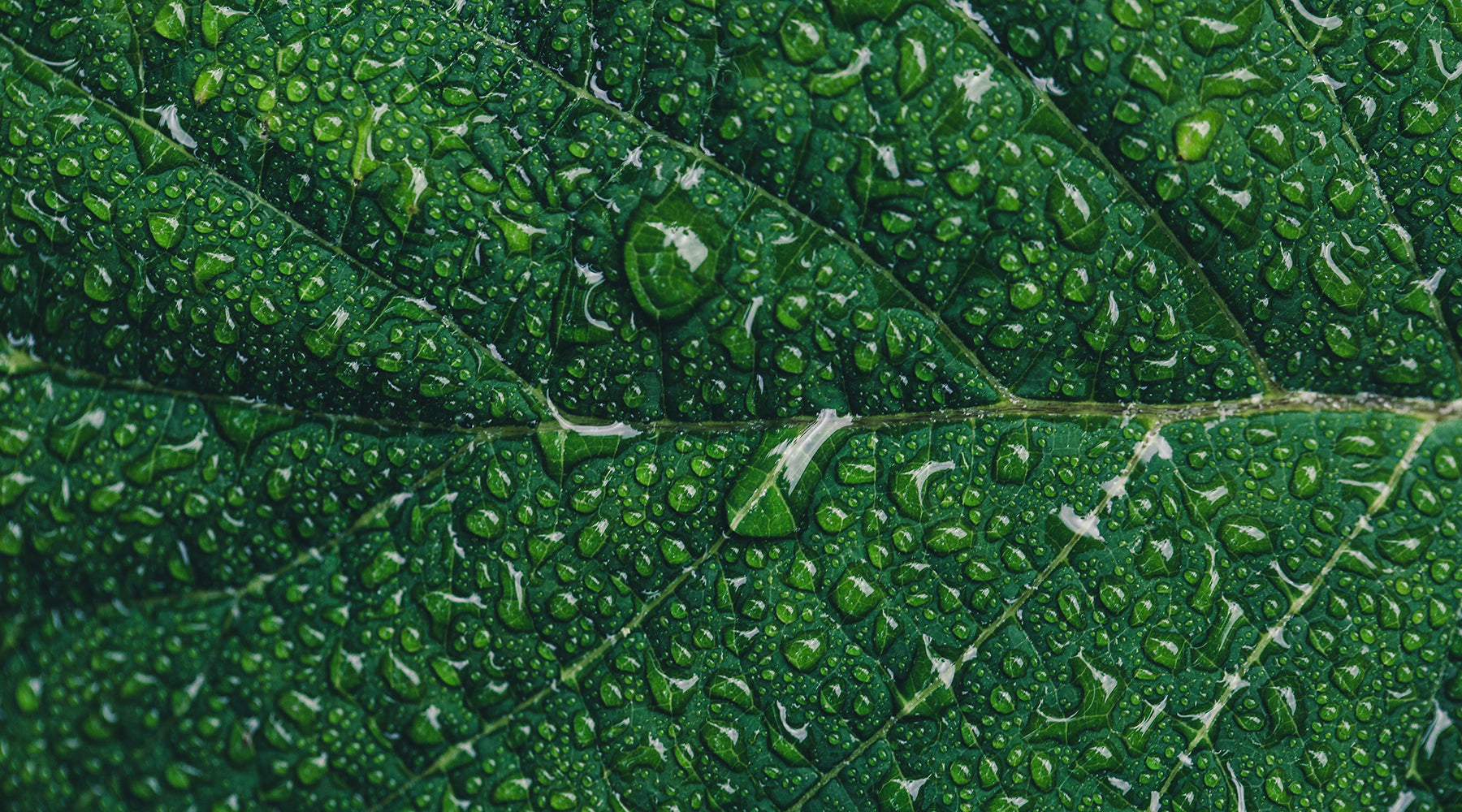 Water droplets on green leaf close up | Nikki Darling Australia