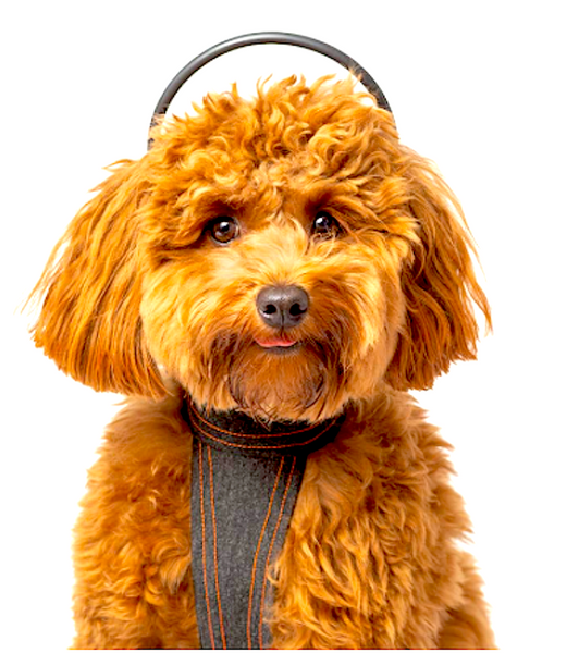 CALMER CANINE: brain-targeted PEMF technology provides a calming influence on your pet