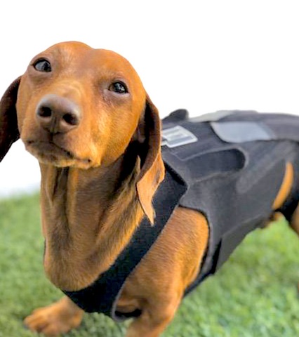 L'IL BACK BRACER: orthopedic back support for dogs with disc disease and back pain