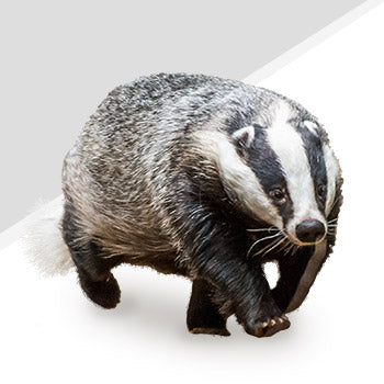 Badger Pest Control