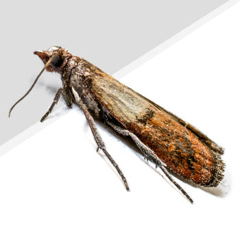 Clothes Moth Pest Control